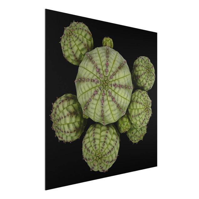 Aluminium Print - Euphorbia - Seeigelwolfsmilch - Quadrat 1:1