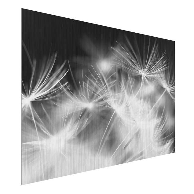 Alu-Dibond Bild - Bewegte Pusteblumen Nahaufnahme auf schwarzem Hintergrund