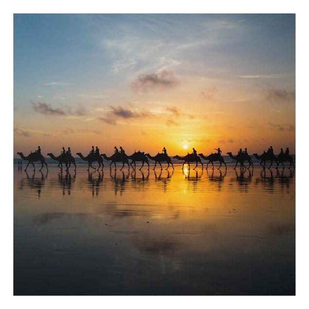 Alu-Dibond Bild - Kamele im Sonnenuntergang