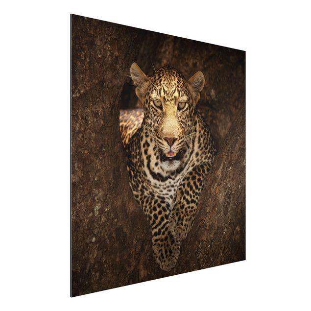Alu-Dibond Bild - Leopard ruht auf einem Baum