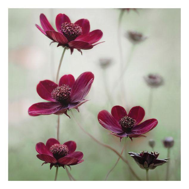 Alu-Dibond Bild - Pinke Kosmeen