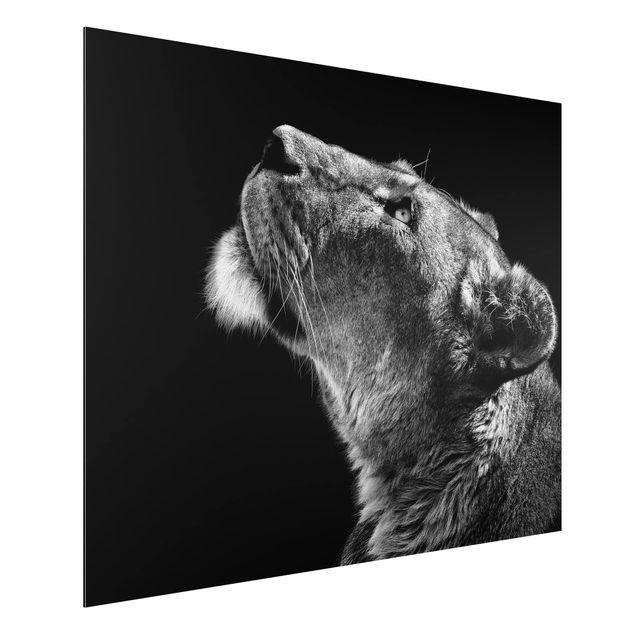 Aluminium Print - Portrait einer Löwin - Querformat 3:4