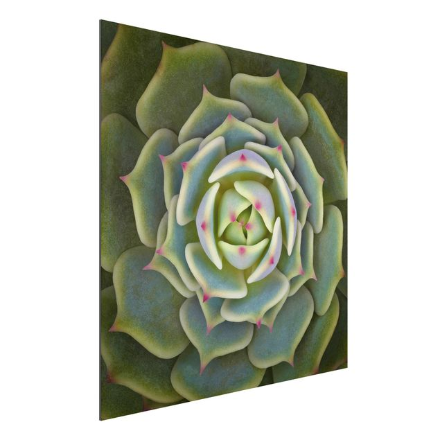 Aluminium Print - Sukkulente - Echeveria Ben Badis - Quadrat 1:1