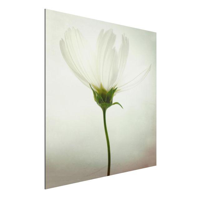 Alu-Dibond Bild - Weiße Cosmea