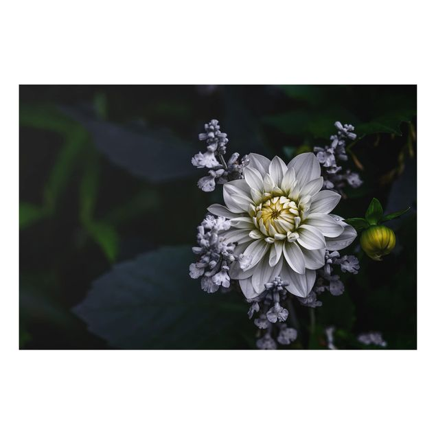 Alu-Dibond Bild - Weiße Dahlie