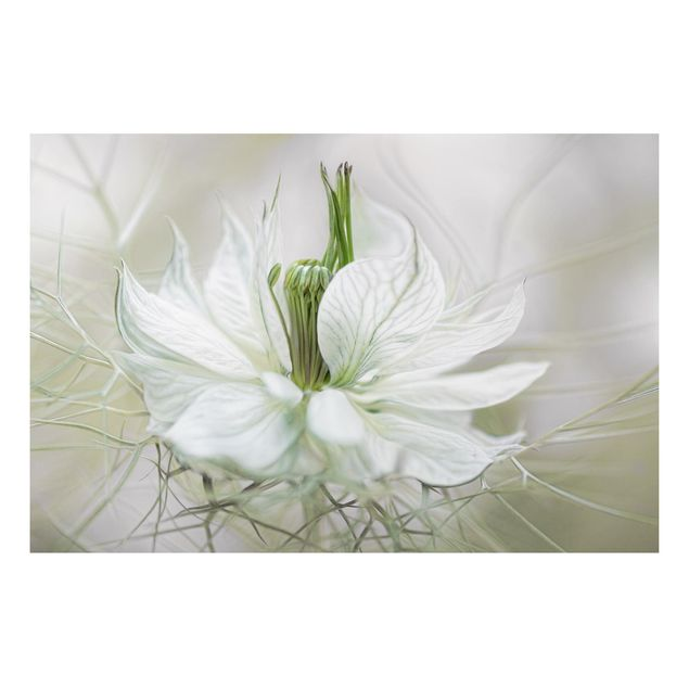 Alu-Dibond Bild - Weiße Nigella