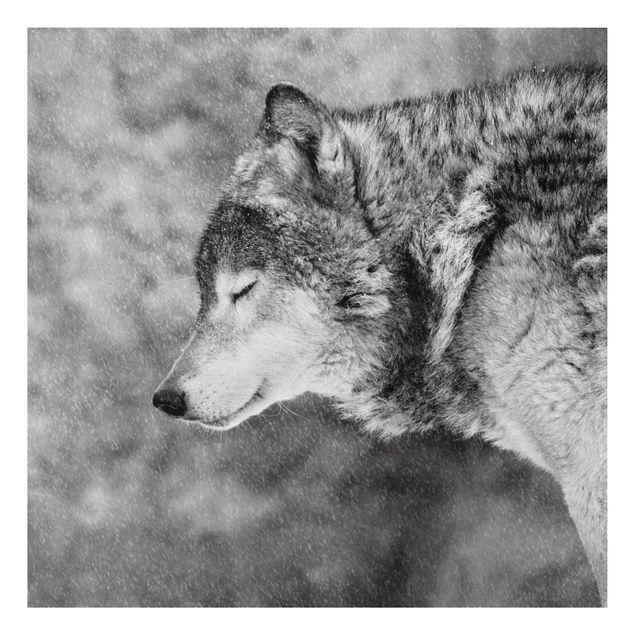 Aluminium Print - Winter Wolf - Quadrat 1:1