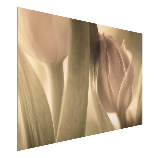 Alu-Dibond Bild - Zarte Tulpen