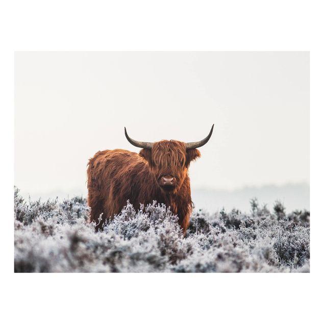 Forex Fine Art Print - Bison in den Highlands - Querformat 3:4