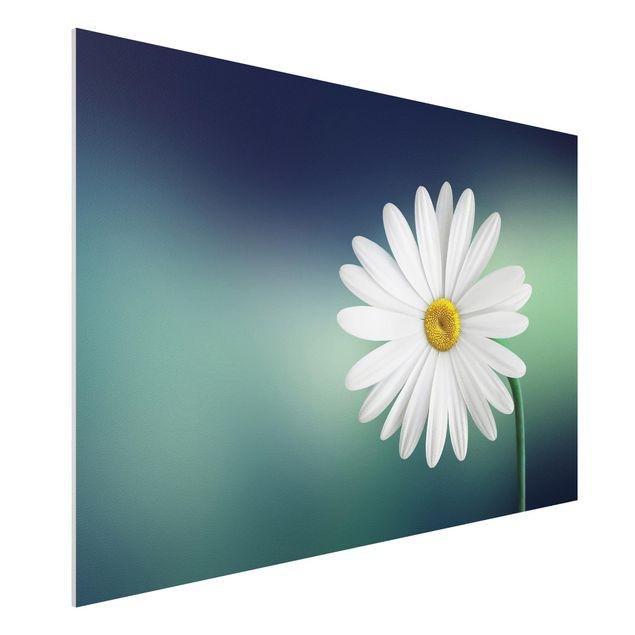 Forex Fine Art Print - Gänseblümchen Close Up - Querformat 2:3