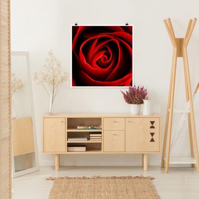 Poster - Liebliche Rose - Quadrat 1:1