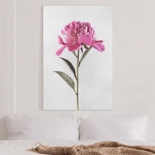 Leinwandbild - Blühende Pfingstrose Pink auf Weiß - Hochformat 3:2