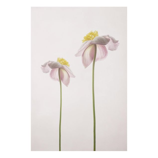 Forex Fine Art Print - Rosa Anemonenblüten - Hochformat 3:2