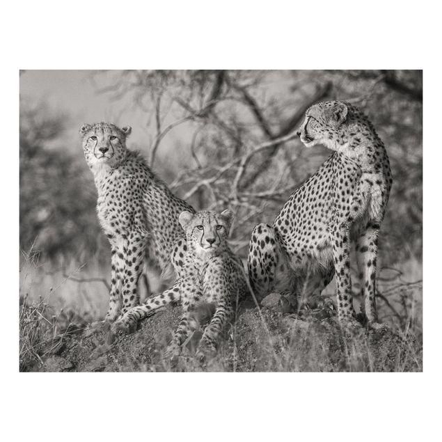 Forex Fine Art Print - Drei Geparden - Querformat 3:4