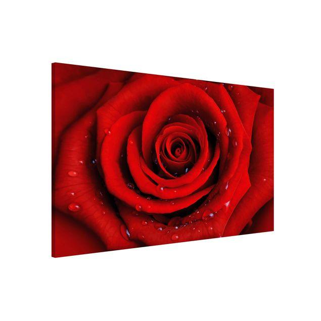 Magnettafel - Rote Rose mit Wassertropfen - Blumenbild Memoboard Panorama Quer