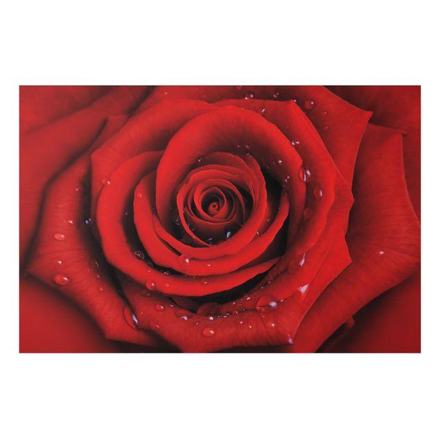 Alu-Dibond Bild - Rote Rose mit Wassertropfen