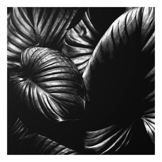 Spritzschutz Glas - Schwarz Weiß Botanik Hosta - Quadrat 1:1