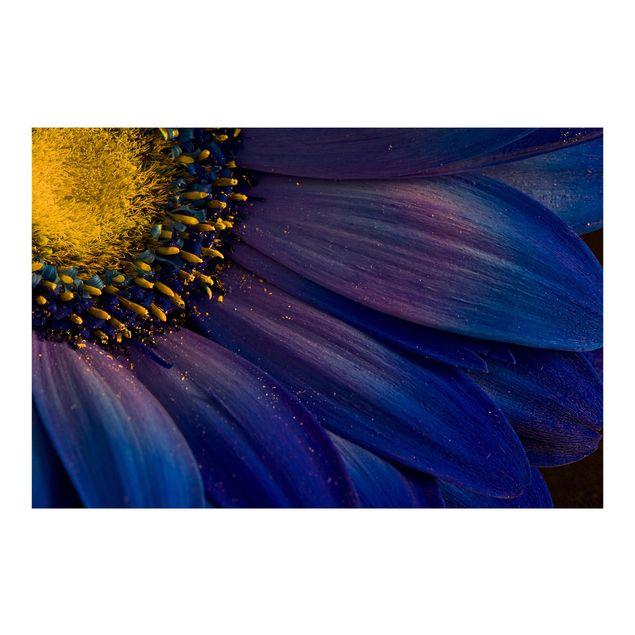 Fototapete Blaue Gerberablüte