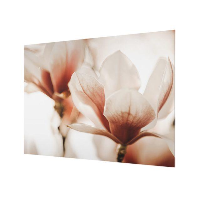 Spritzschutz Glas - Zarte Magnolienblüten im Lichtspiel - Querformat 4:3